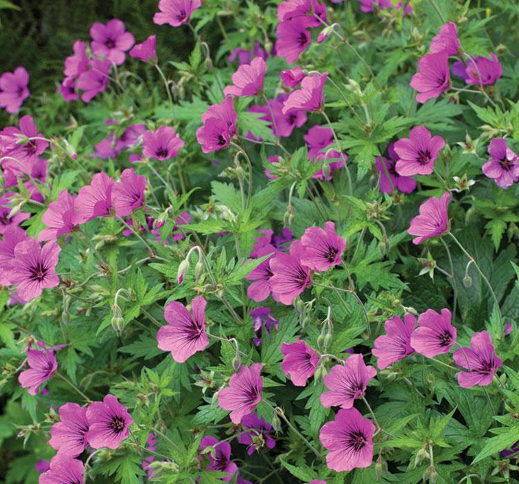 'Ann Folkard' geranium