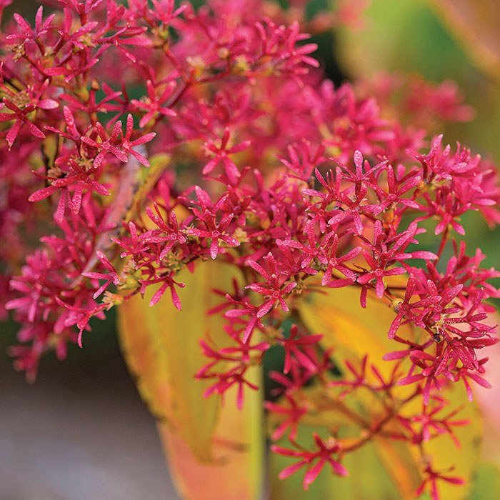 Tianshan seven-son flower