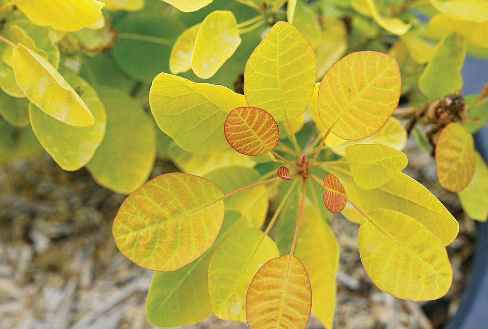 Winecraft Gold smoke bush