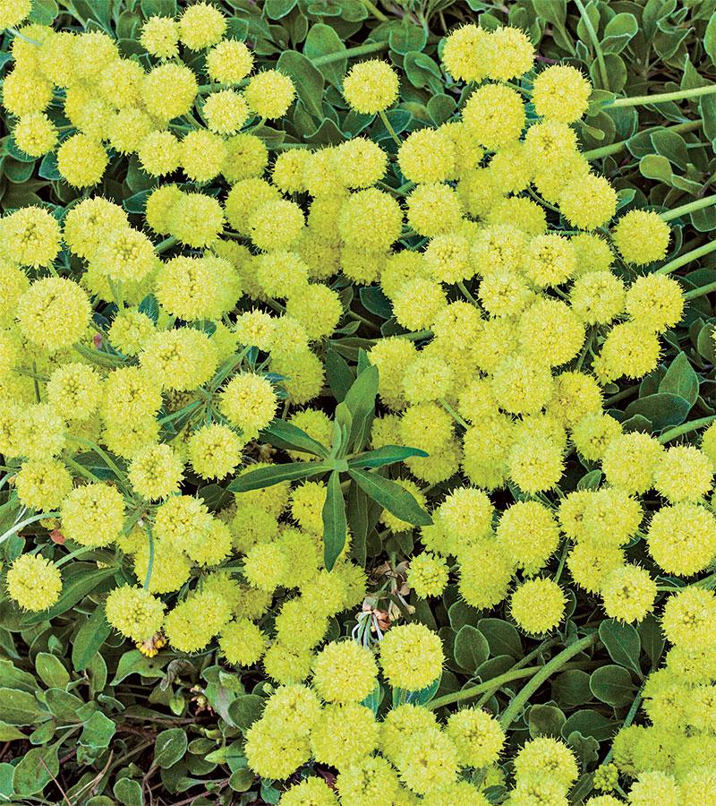 Kannah Creek Buckwheat