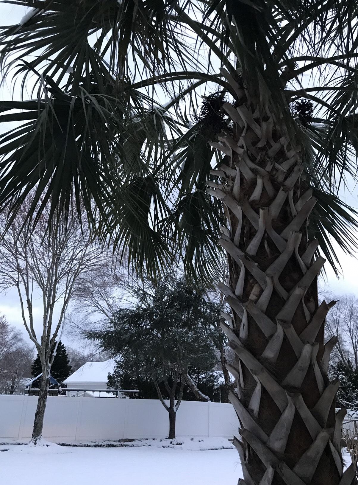 palma robusta