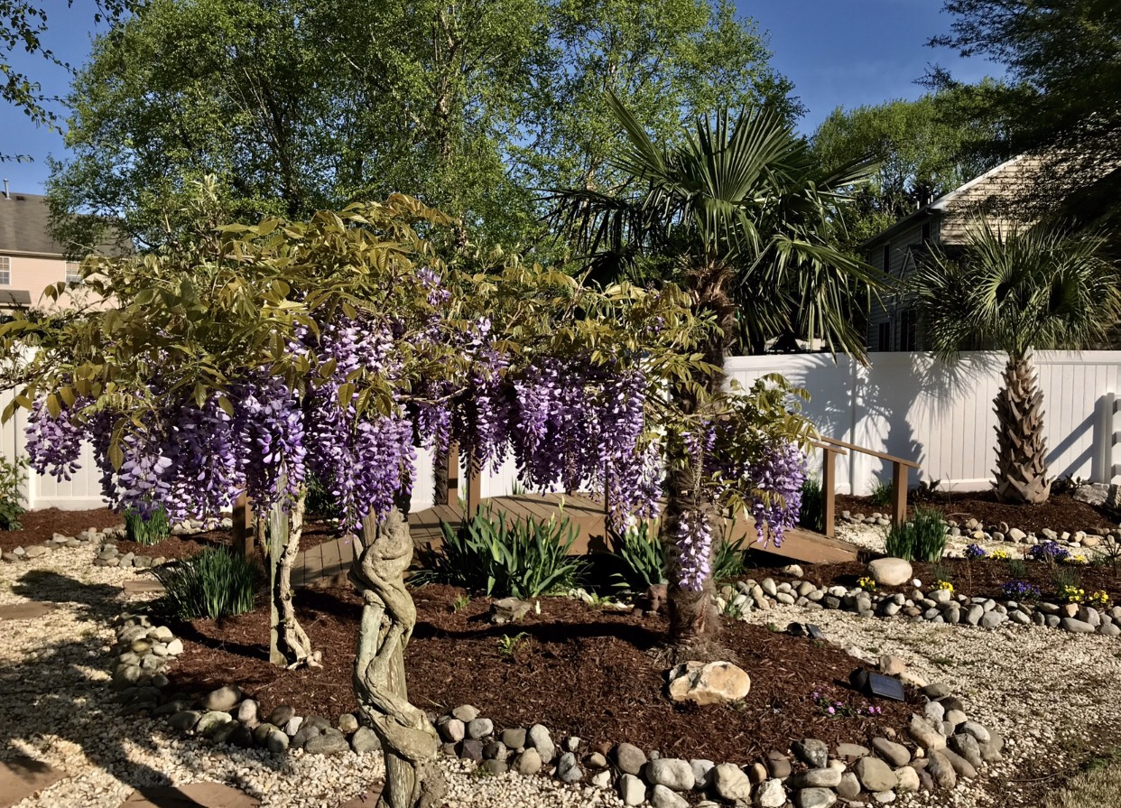 Wisteria blooming in tree form