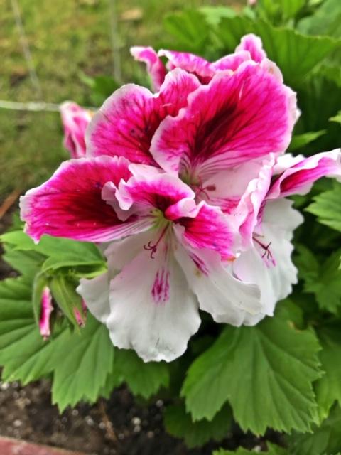 Regal geraniums