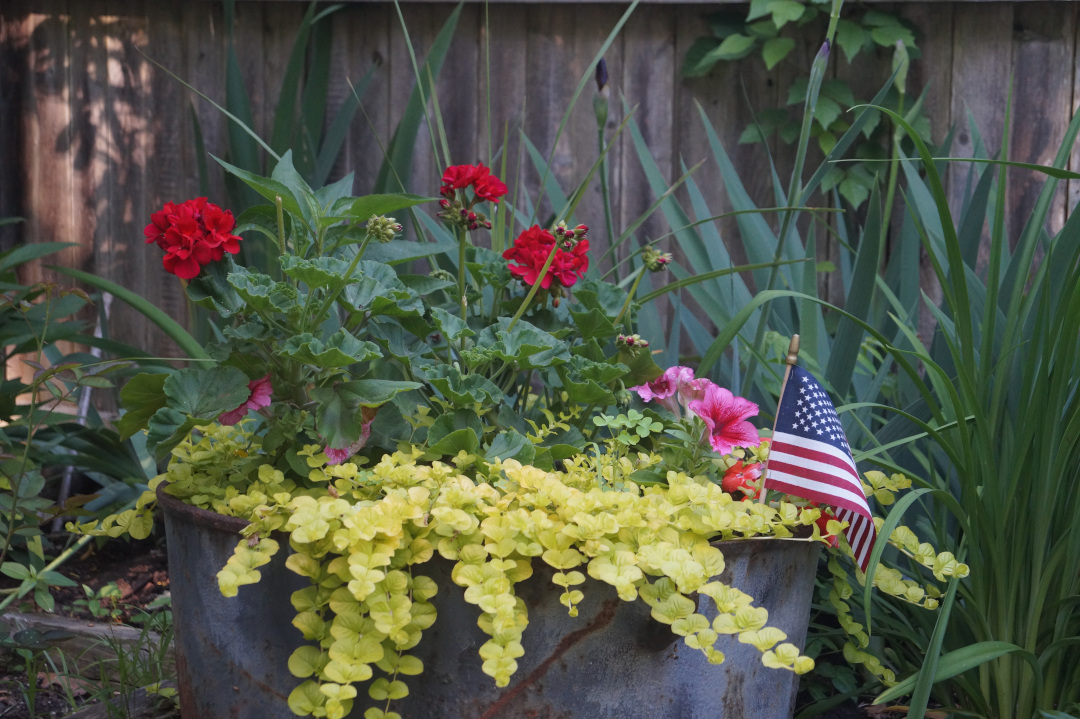 golden creeping Jenny in a container