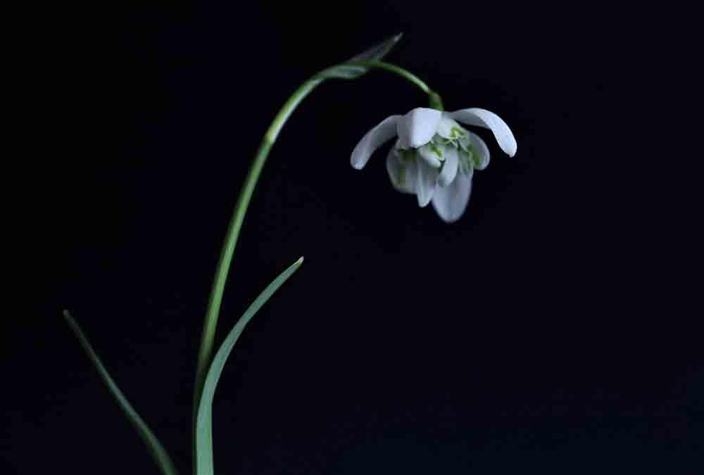 'Flore Pleno' snowdrop