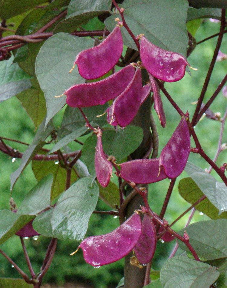 Hyacinth bean pod