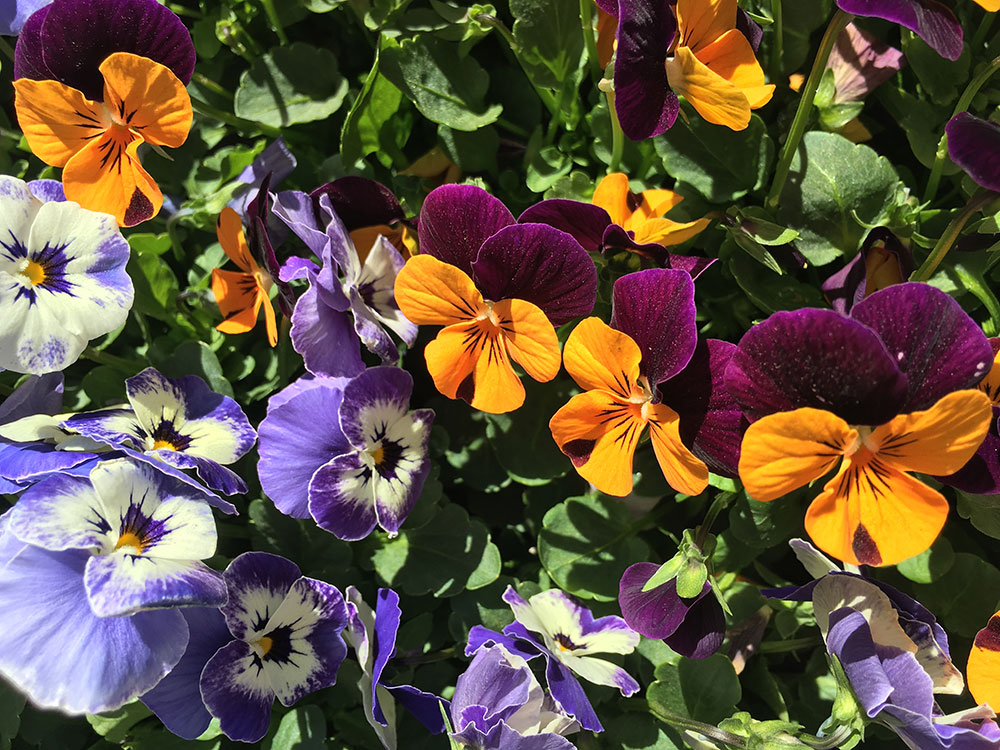 Sorbet® XP violets