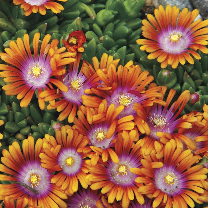 Fire Spinner® ice plant