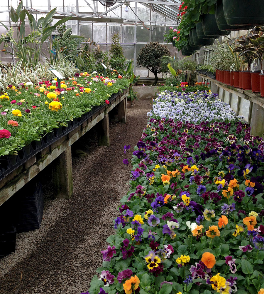 shopping for annuals and perennials