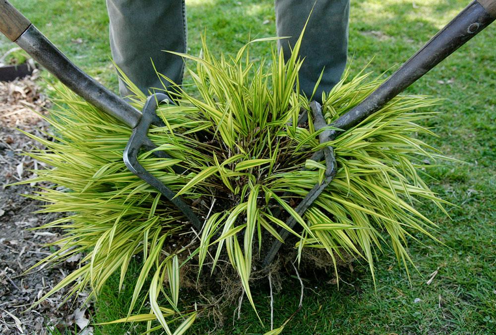 'Aureola' Japanese forest grass
