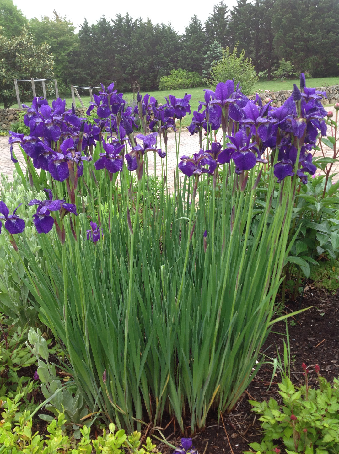 Siberian iris 'Caesar's Brother'