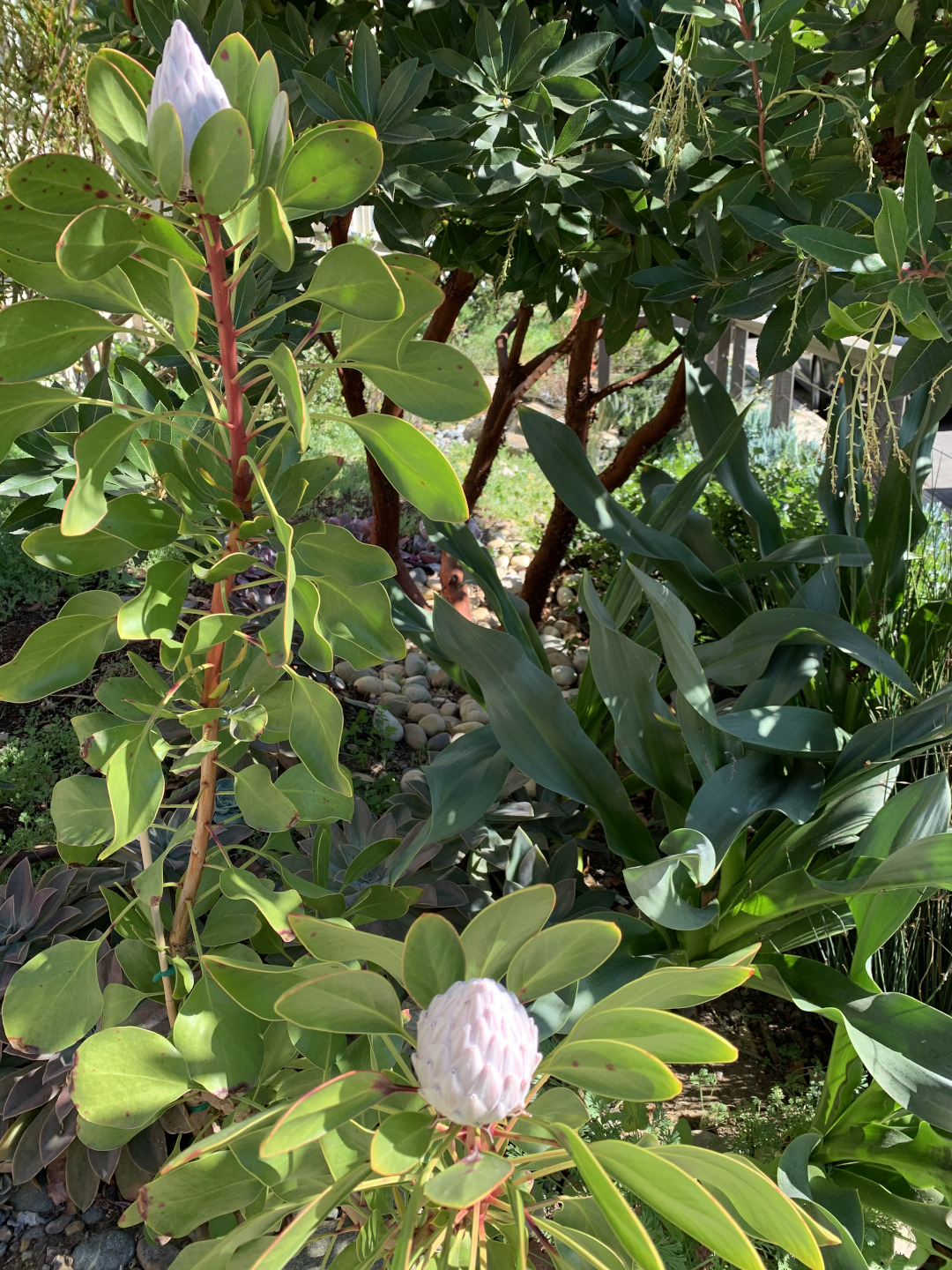 king protea flower buds