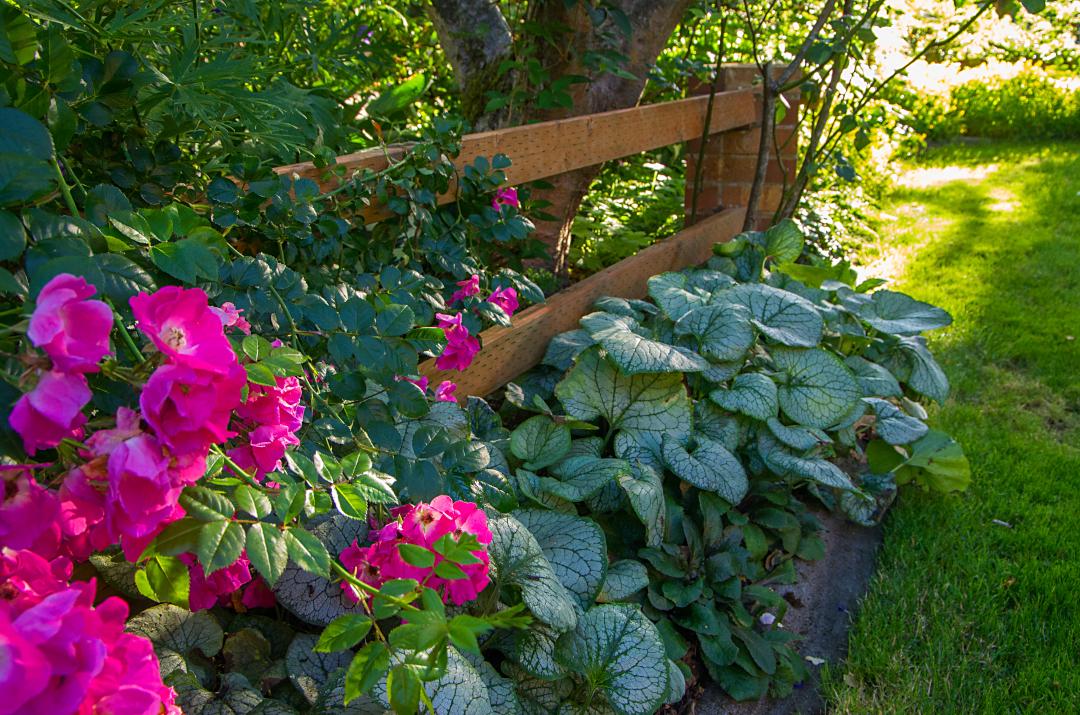 Siberian bugloss