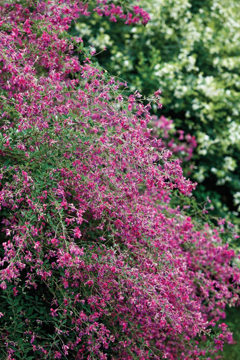'Gibraltar' bush clover