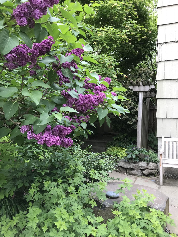 purple lilac 'Ludwig Spaeth'