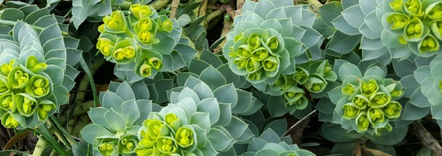 Donkey tail spurge