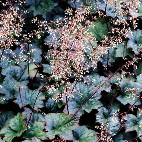 'Palace Purple' heuchera