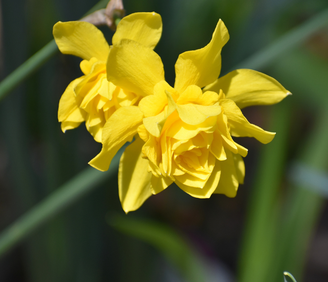Double-flowered daffodils