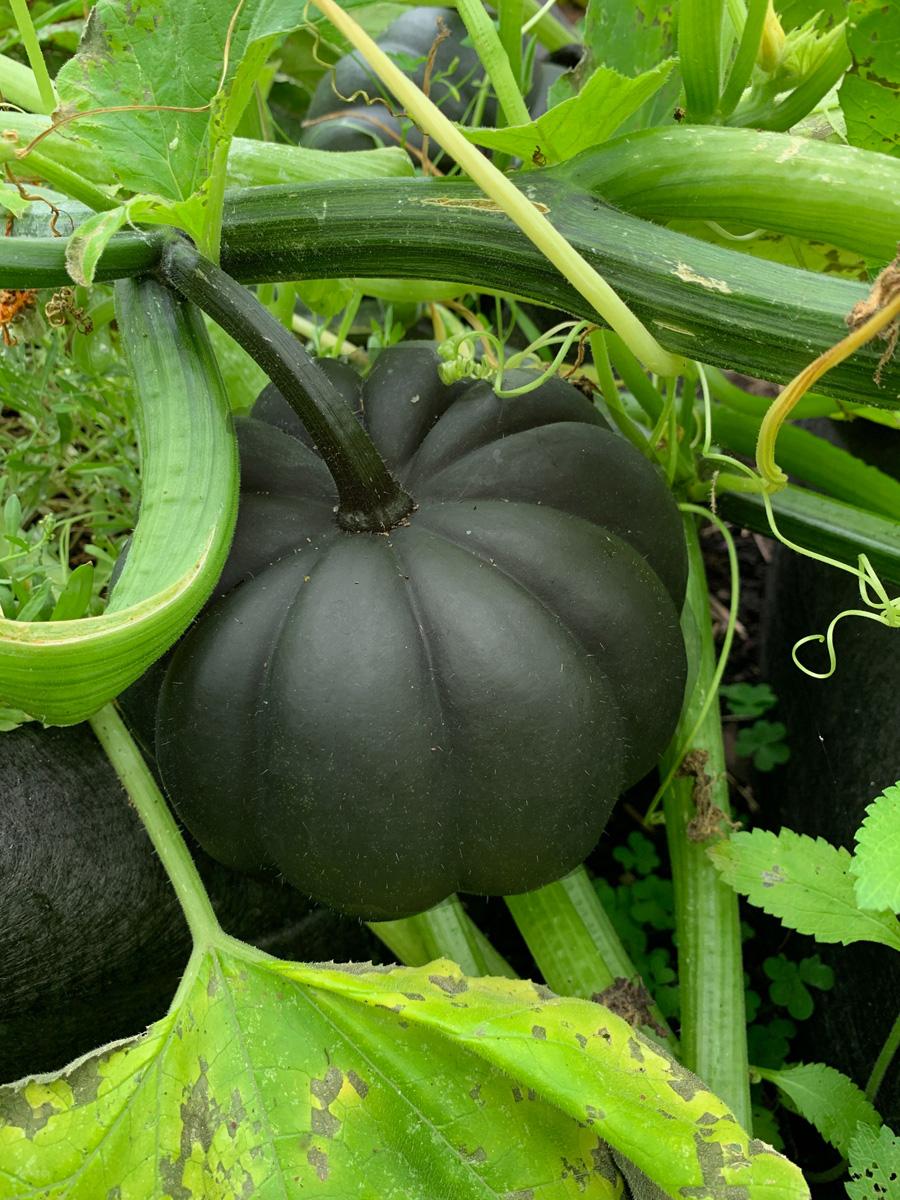 'Black Kat' pumpkin (Photo Credit: New England Seed)