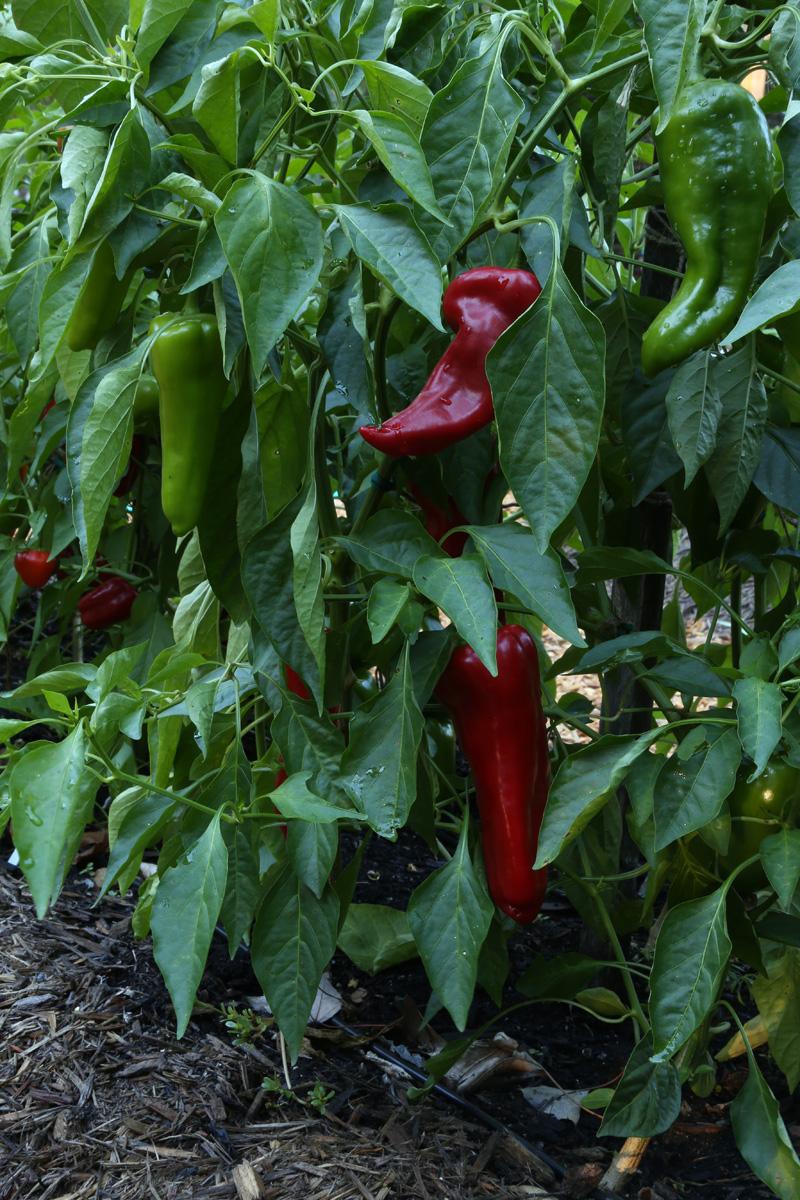 'Carmen' pepper