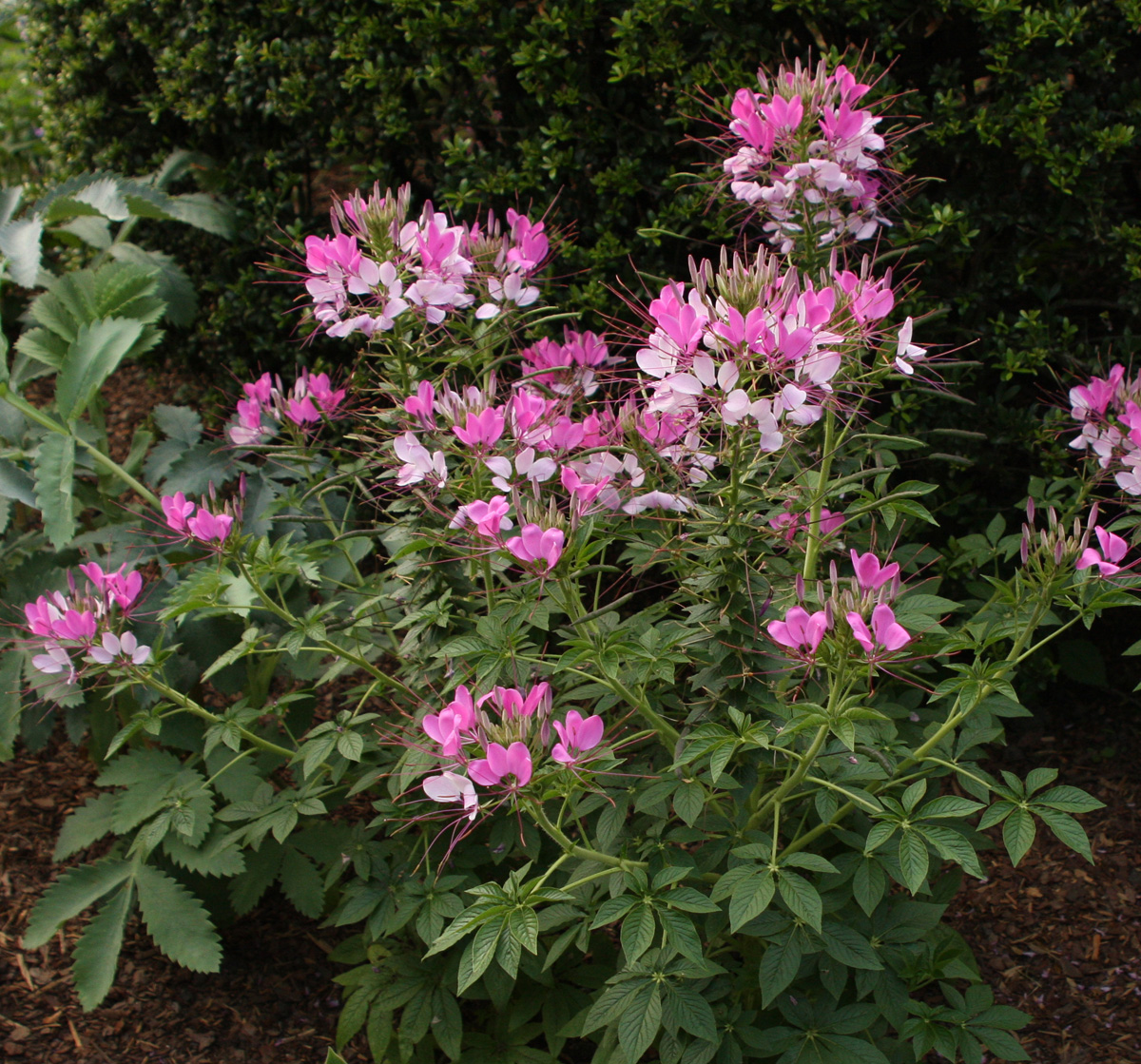'Fountain Blend' cleome