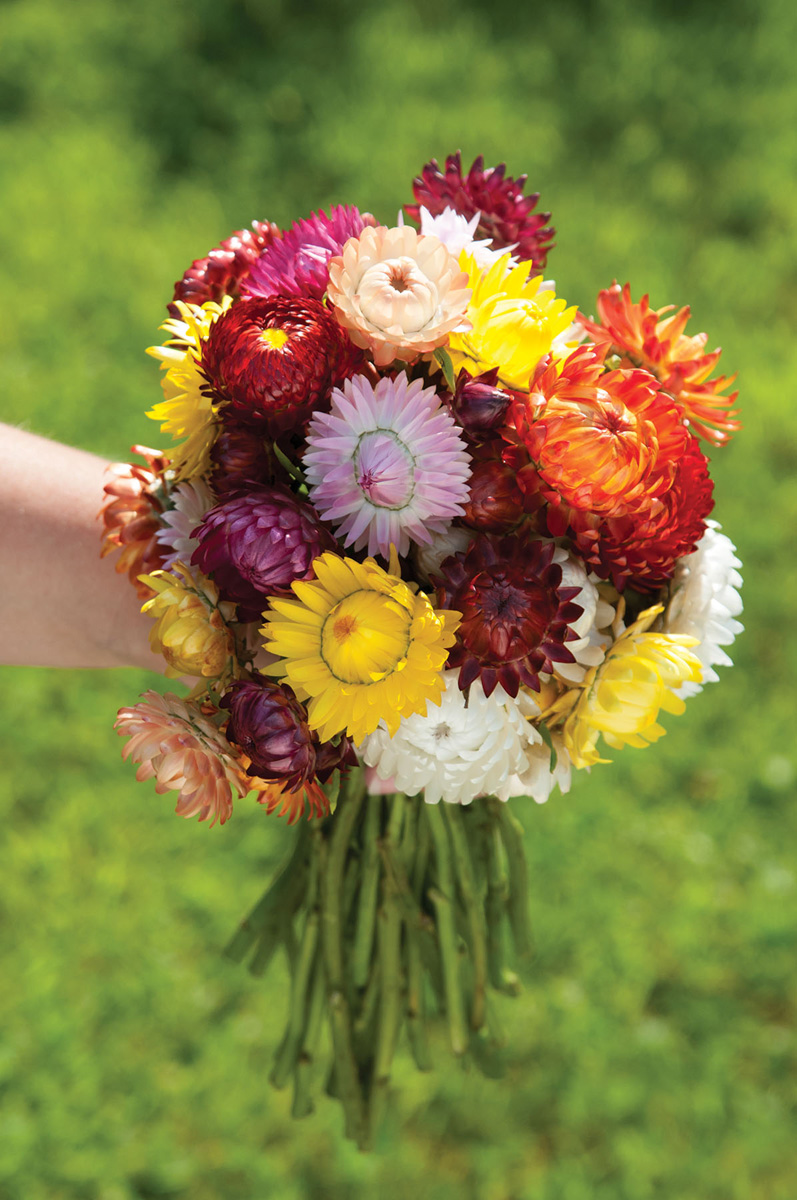 'Sultane Mix' strawflower (Photo credit: Johnny's Selected Seeds)