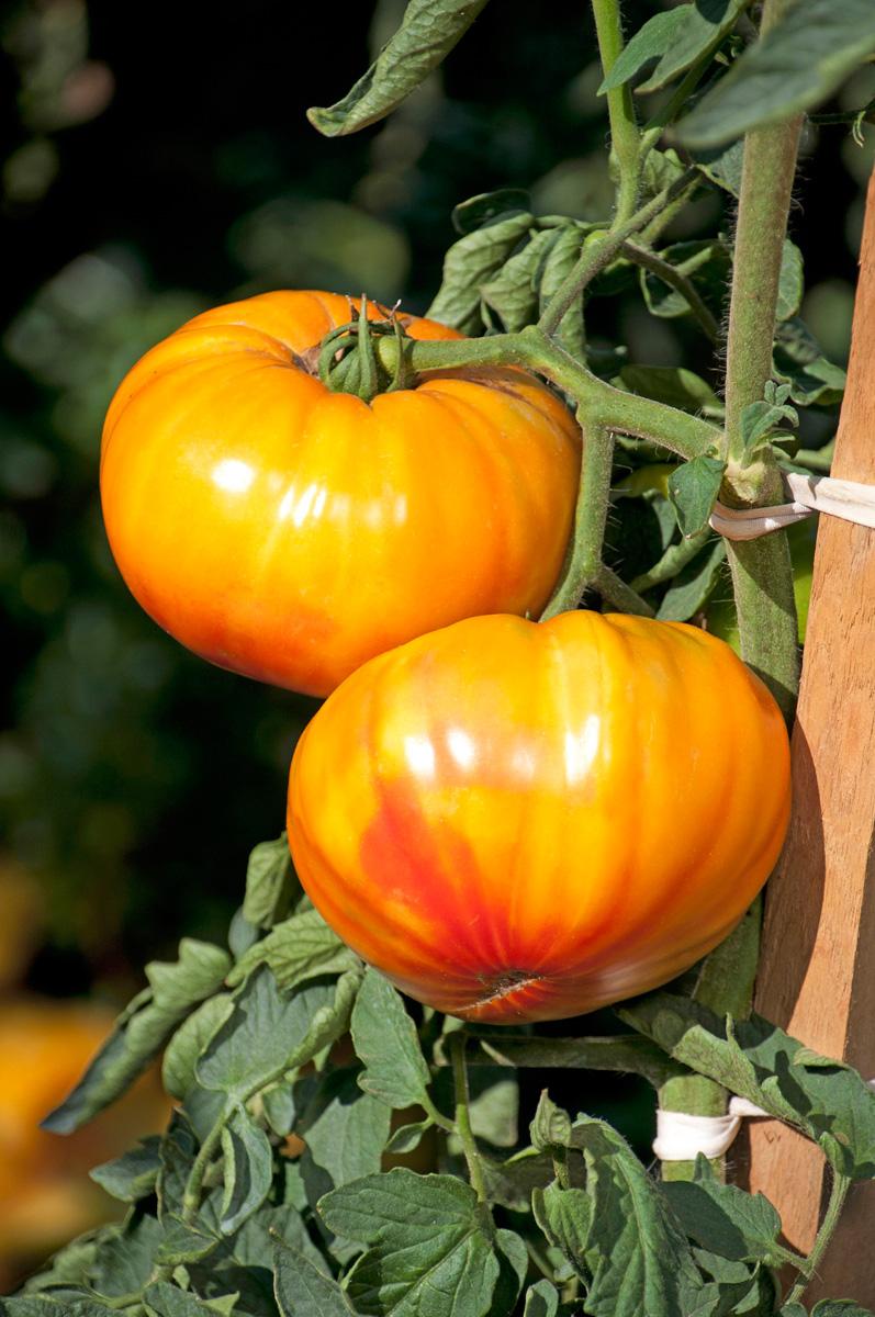 'Buffalosun' tomato (Photo credit: All America Selections)