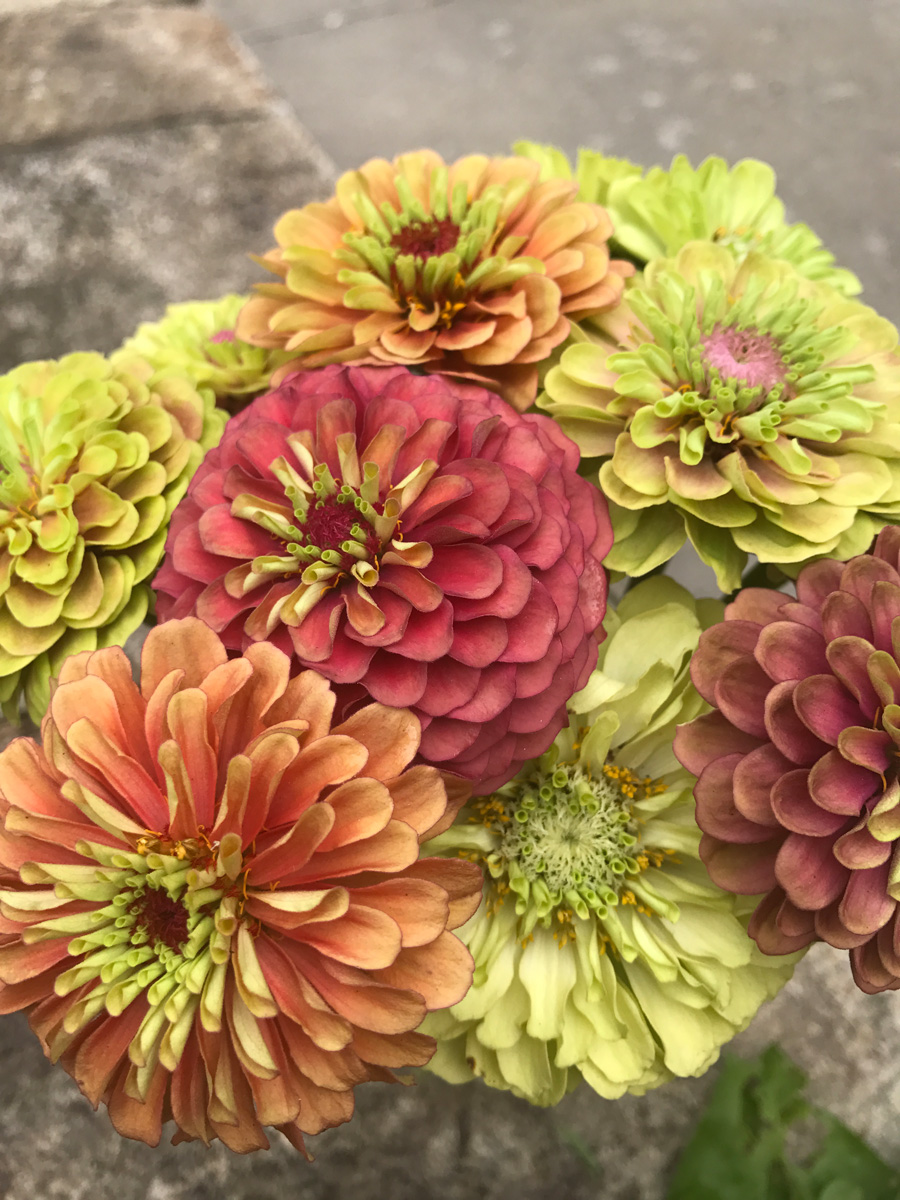 'Queen Lime Mix' zinnia (Photo credit: Johnny's Selected Seeds)