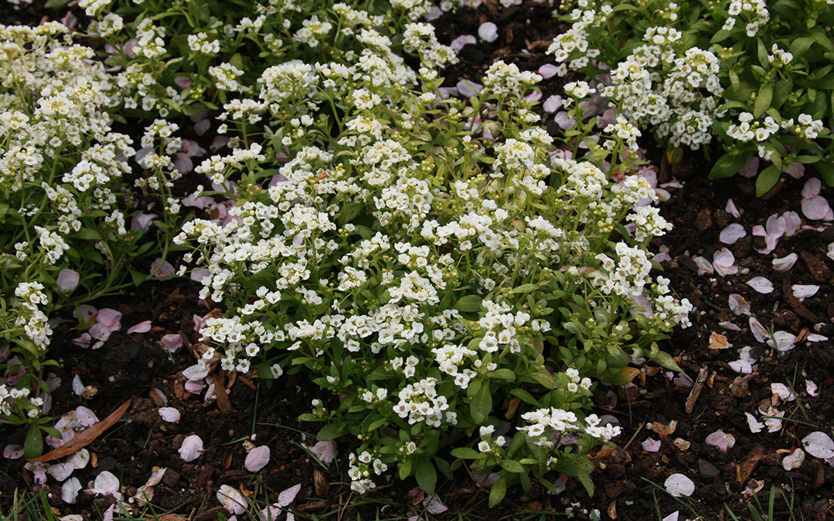 'Snow Crystals' alyssum