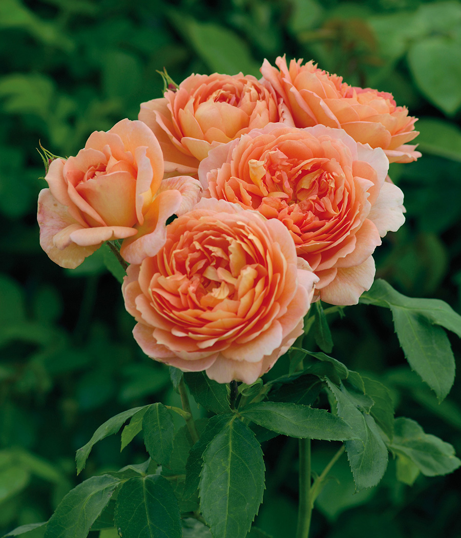 'Carding Mill' English rose