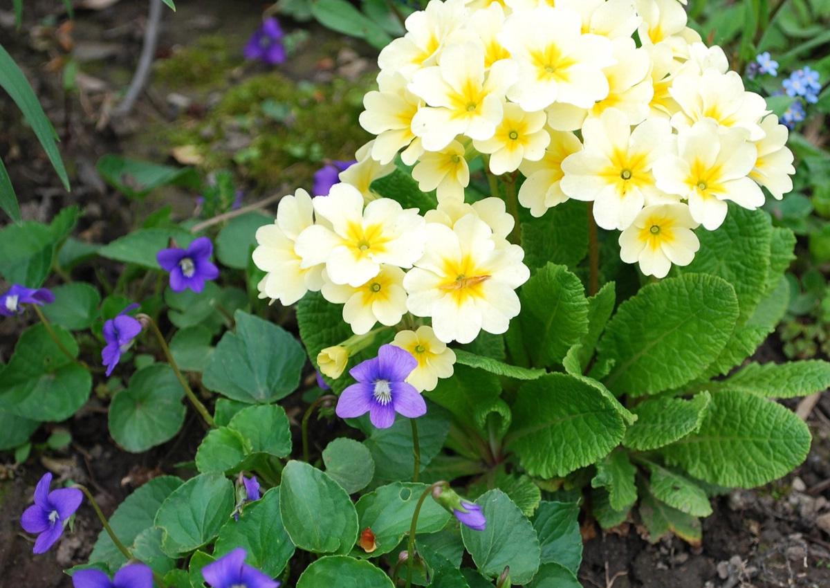 Hybrid primroses