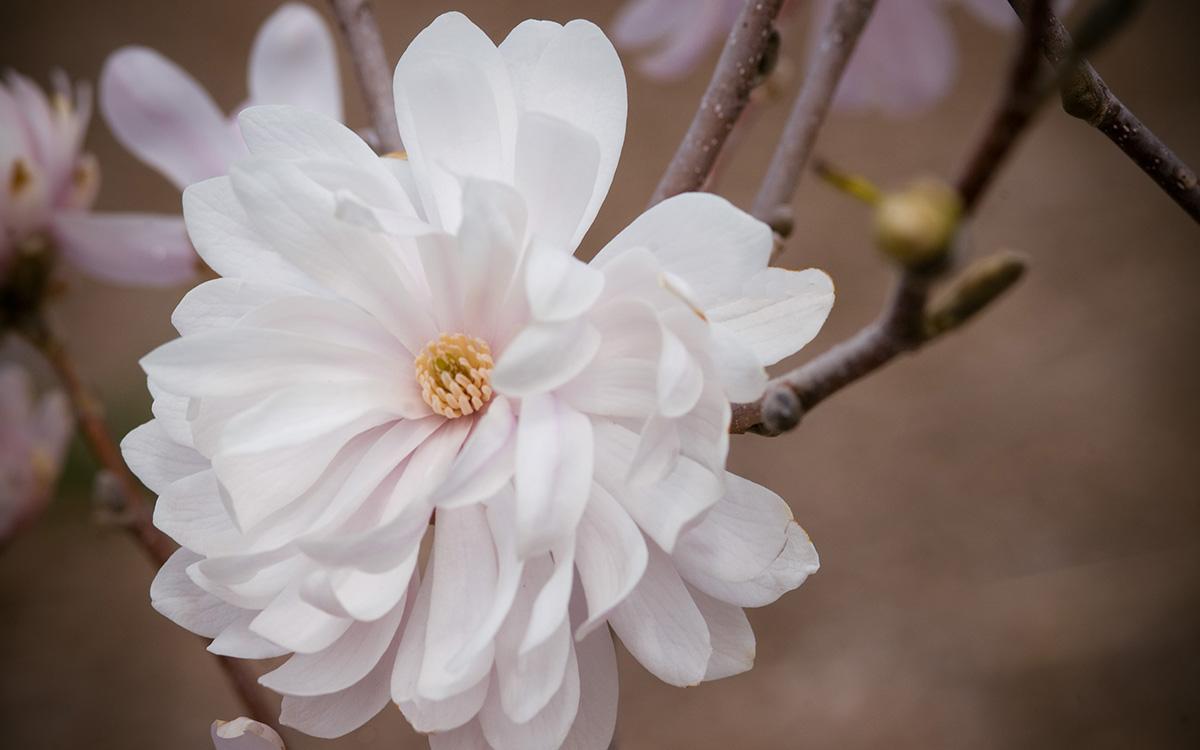 'Centennial Blush' magnolia