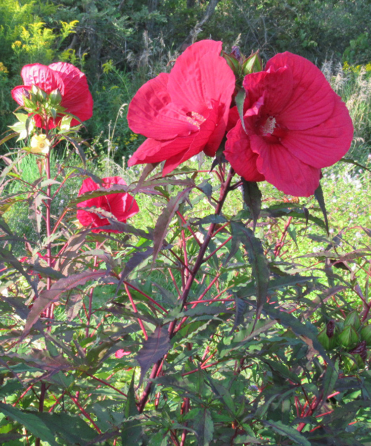 'Midnight Marvel' rose mallow