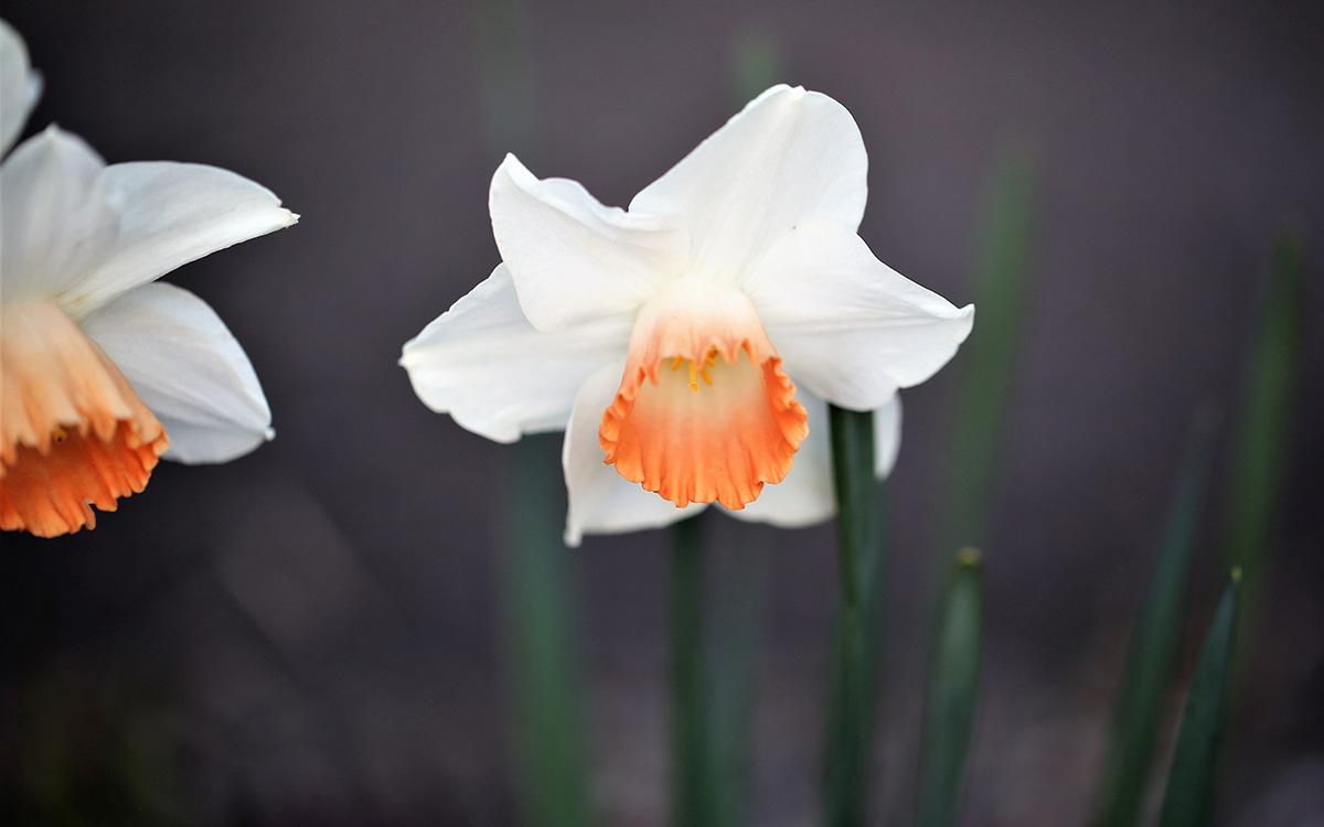 'Salome' daffodils