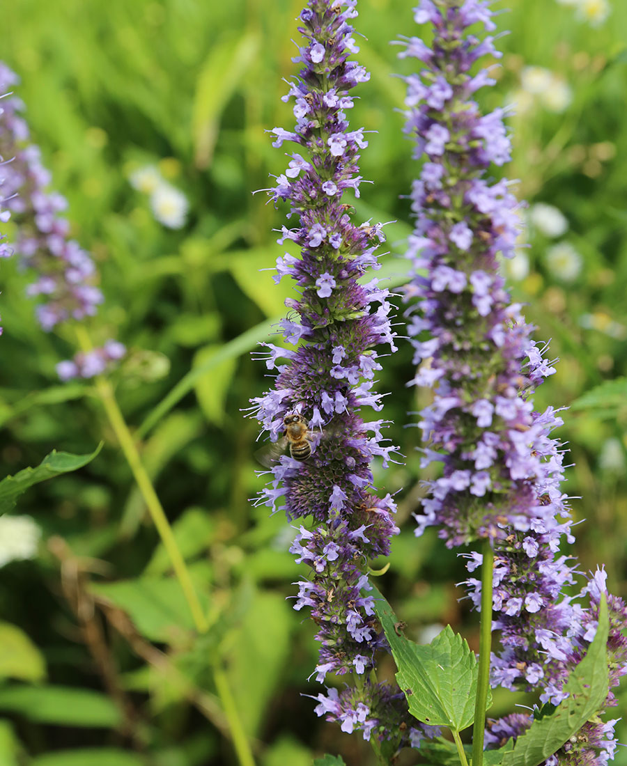 'Blue Fortune' giant hyssop