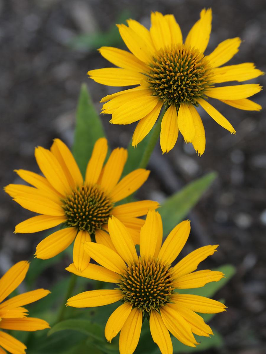 Kismet Yellow coneflower