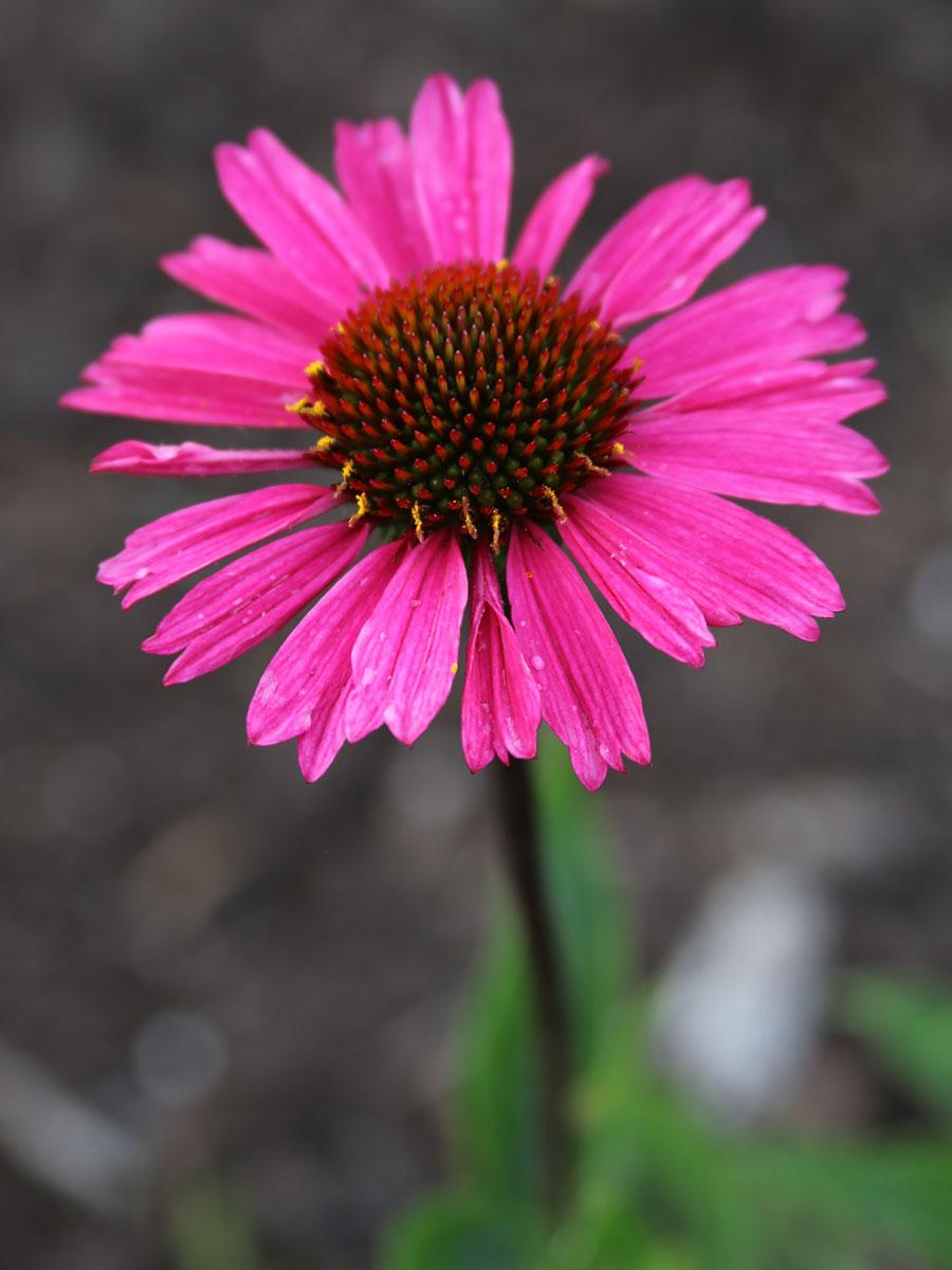 'Sensation Pink' coneflower