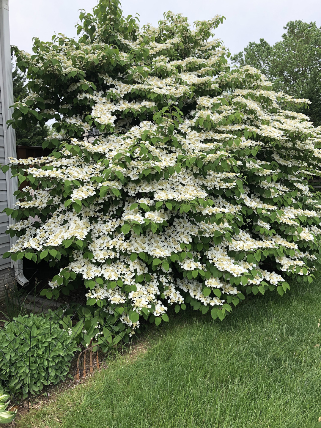 Double file viburnum