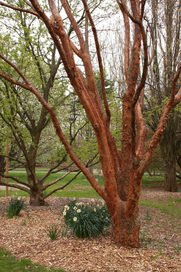 Paperbark maple (Acer griseum, Zones 4-8)