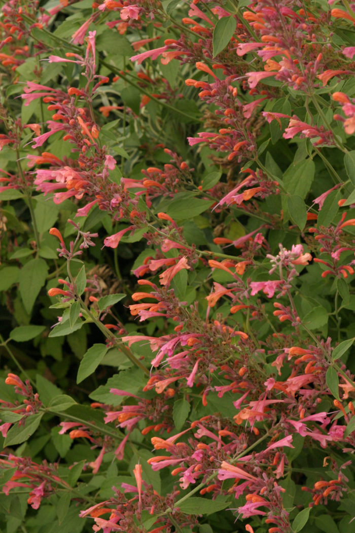 Acapulco® Salmon and Pink hyssop (Agastache 'Salmon and Pink', Zones 5-9)
