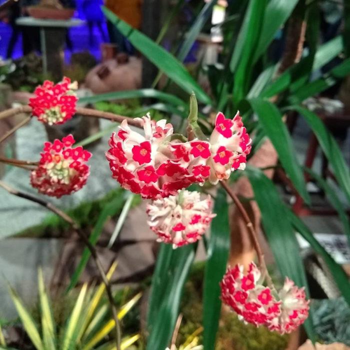 'Akebono' red paperbush (Edgeworthia chrysantha 'Akebono', Zones 7-9 )