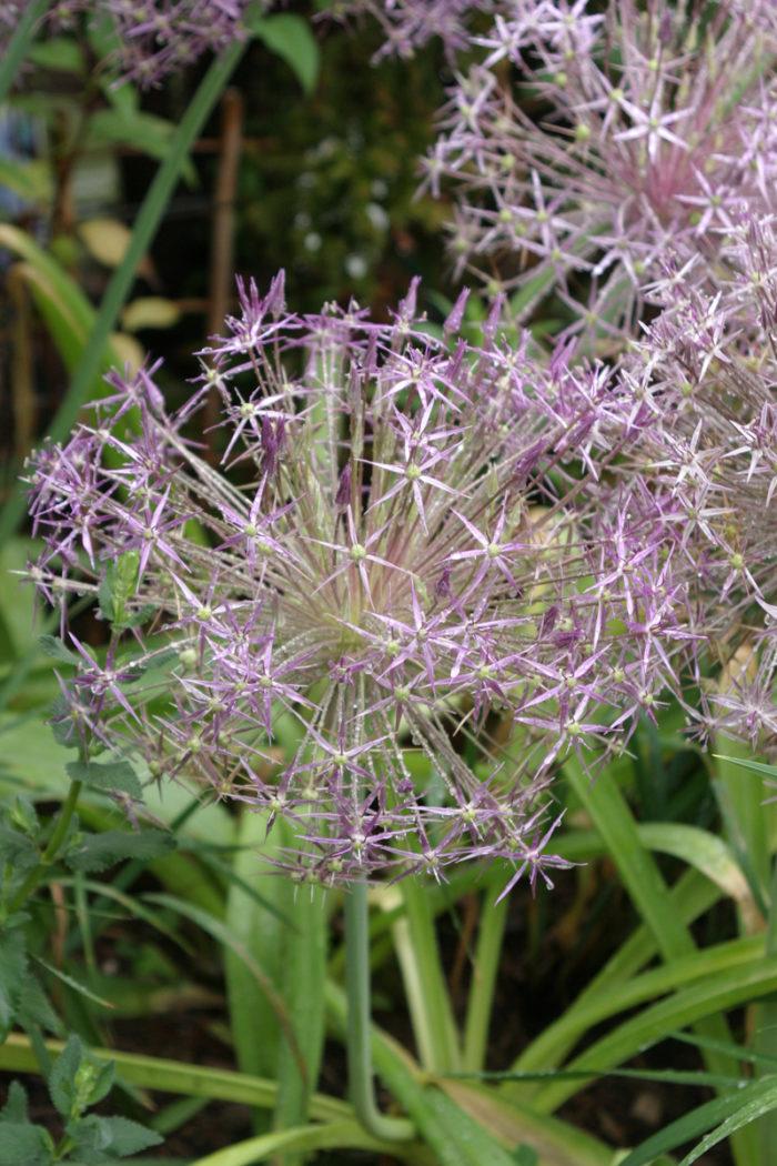 Star of Persia (Allium christophii, Zones 4-8)