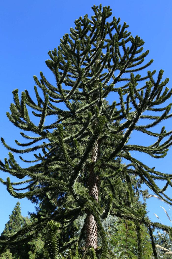 Monkey puzzle tree (Araucaria araucana, Zones 7-10)