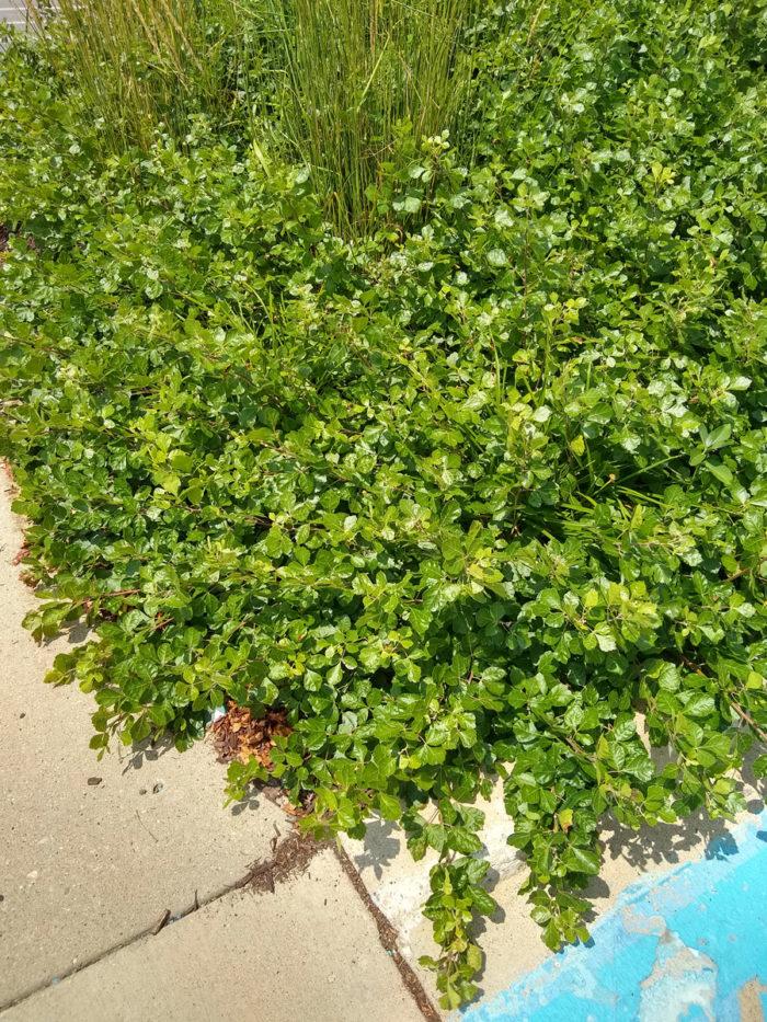 Lowscape Mound™ black chokeberry (Aronia melanocarpa 'UCONNAM165', Zones 4-8)