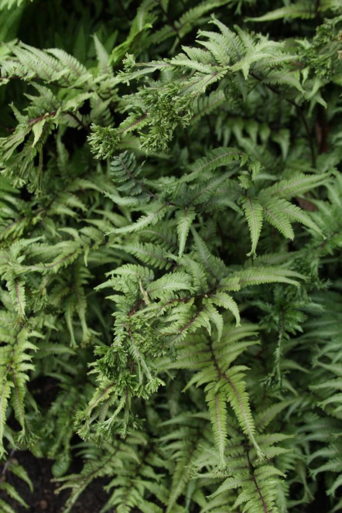 'Apple Court' painted fern (Athyrium niponicum var. pictum 'Apple Court', Zones 5-8)