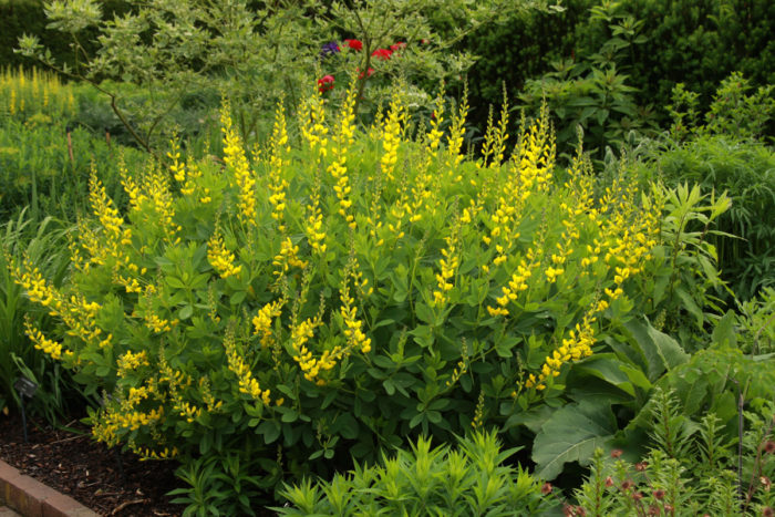 'Screaming Yellow' baptisia (Baptisia 'Screaming Yellow', Zones 4-9)