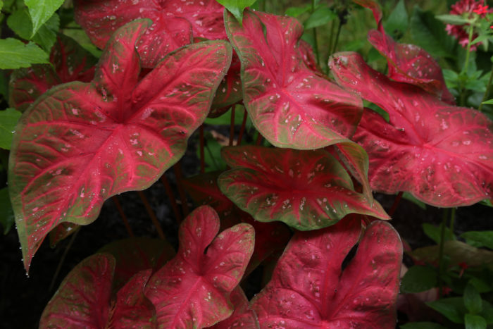 'Red Flash' caladium (Caladium 'Red Flash', Zones 8-11)