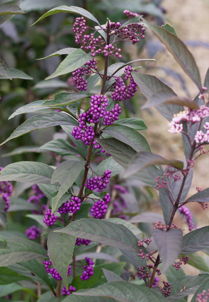 Purple Pearls® beautyberry (Callicarpa 'NCCX1', Zones 5-8)