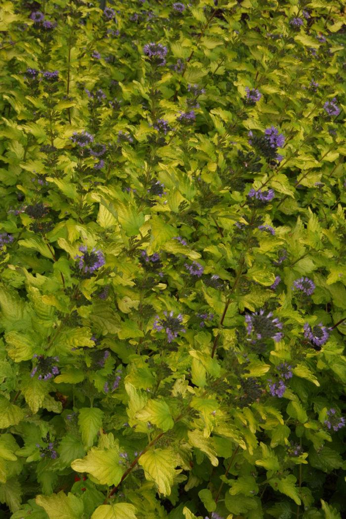 Sunshine Blue® bluebeard (Caryopteris incana 'Jason', Zones 7-9)