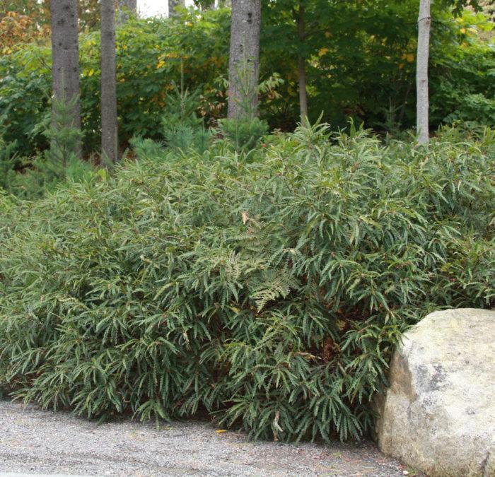 Sweet fern (Comptonia peregrina, Zones 2-6)